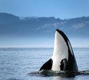 orca-thum